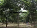 榉树基地,榉树批发市场,榉树多少钱