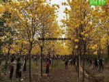 12公分黄花风铃木报价表,黄花风铃木袋苗大型种植场