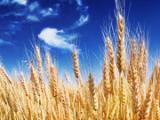风达饲料厂采购玉米小麦高粱棉粕大米等饲料原料