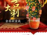 武汉新年喜庆丰收的植物金桔盆栽送货上门,代表硕果累累的金钱桔