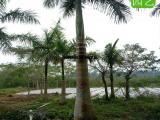 低价批发大王椰子,大王椰子规格齐全,大王椰子假植苗报价