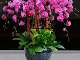 武汉新年节日恭喜鲜花蝴蝶兰盆栽送货上门,好看的蝴蝶兰盆栽租摆
