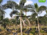 狐尾椰子规格齐全,狐尾椰子袋苗假植苗,成活率高狐尾椰子