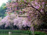 宫粉紫荆12公分  洋紫荆自产自销大量供应