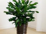 武汉生命力顽强的室内中型绿植螺纹铁盆栽,武汉植物螺纹铁可租摆