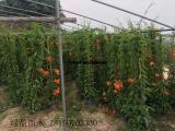 供应炮仗花攀爬植物高度2米 黄鳝藤红色花各种规格齐全