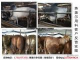 牛怎么喂长的快/养牛用什么饲料好/肉牛吃什么长的最快