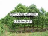 精品树形12公分香樟价格
