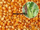 常年现款求购玉米