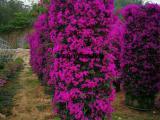 紫花三角梅批发,紫花三角梅柱高3米,现货供应量大从优