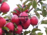 红将军苹果苗价格 红将军苹果树苗品种介绍