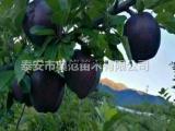 黑苹果树苗价格 黑苹果苗品种介绍产地直供