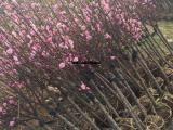 红梅树基地 红梅树价格更便宜