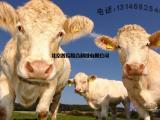 犊牛增肥打基础育肥快速饲料预混料