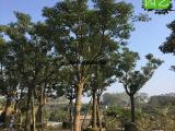 香樟冠幅好的,耐寒香樟树,18公分香樟假植苗供应中心