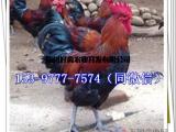土鸡苗厂家麻鸡