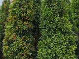 红车木高度2.5米绿化树 可接工程苗木基地直销 鸿运当头