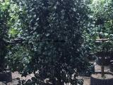 茶花高度2米200元小灌丛批发 农户自种自销大量