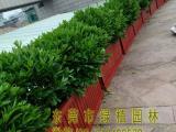 供应绿植租摆非洲茉莉 垂直绿化 室内外绿化养护花卉租摆