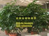 供应绿植租摆招财树 垂直绿化 室内外绿化养护 东莞租花