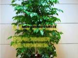 供应绿植租摆幸福树  垂直绿化 室内外绿化养护 东莞租花