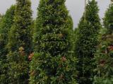 红车木高度2.5米价格1400绿化树  红车鸿运当头灌木