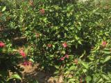 重瓣扶桑高度1.8米 绿化树农户直销 重瓣扶桑多分枝树木