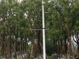 全身翠叶15公分香樟袋苗价格透明,20公分截杆香樟移植苗产地