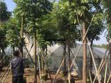仁面子树苗米径12公分 园林树自产自销量大从优 景观树