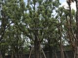 香味清淡28公分全冠香樟独杆,25公分丛生香樟树现挖现卖