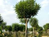 蓝花楹袋苗15公分 苗圃直销  蓝花楹树苗绿化种植场