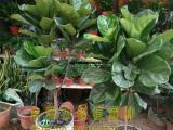 供应东莞绿植租摆琴叶榕东莞垂直绿化东莞室内外绿化养护东莞植物