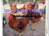 天全土鸡苗供应商养鸡