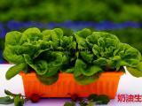 盆栽有机蔬菜有机奶油生菜