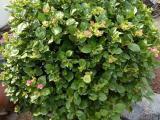 美丽的黄花三角梅盆栽,黄花三角梅批发供应