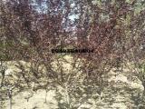 红叶碧桃绿化树 7公分8公分红叶碧桃树