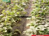 法兰地草莓苗价格 法兰地草莓苗供应基地