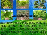 7公分复叶槭报价、9公分青叶复叶槭、10公分金叶复叶槭