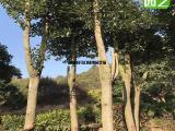 多杆香樟,香樟移种植基地,枝叶四季常绿