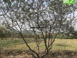 脆桃假植苗,结果子树2米高度,脆桃树形好看的
