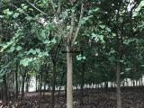 宫粉紫荆种苗,宫粉紫荆多花的,可作绿化树