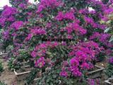 三角梅桩景,紫色红色白色都有,三角梅造型盆栽漂亮