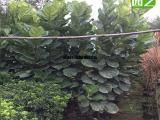 琴叶榕大型假植树,1米5琴叶榕单杆