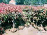 今年红叶石楠价格详细说明