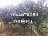 出售紫叶李苗木质量保证