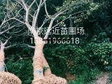 南京丛生朴树6,7,8,10,12米高批发
