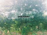 中山杉品种介绍中山杉价格