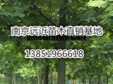 采购马褂木价格杂交马褂木品种详细说明