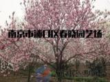 3公分红玉兰价格//南京树形美观