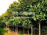 绿化苗木10公分广玉兰价格